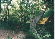ブナの古木も現れる山道