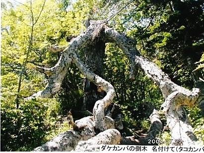 ダケガンバの倒木