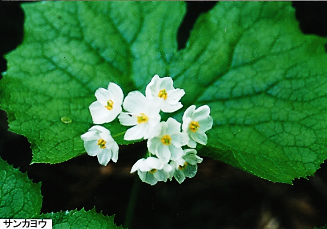 サルグルミの大木やサンカヨウ他、魅力的な花々の宝庫~丸屋形岳~(青森)