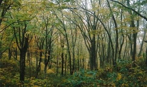 核心部のブナ原生林2