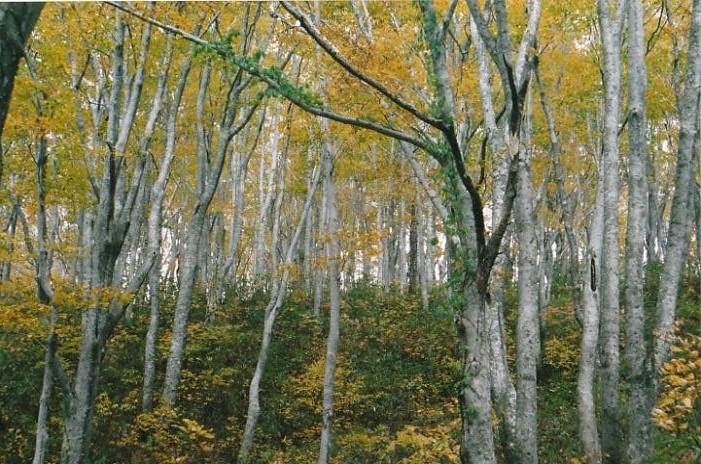 核心部のブナ原生林