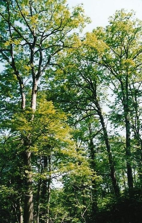 サルグルミの大木