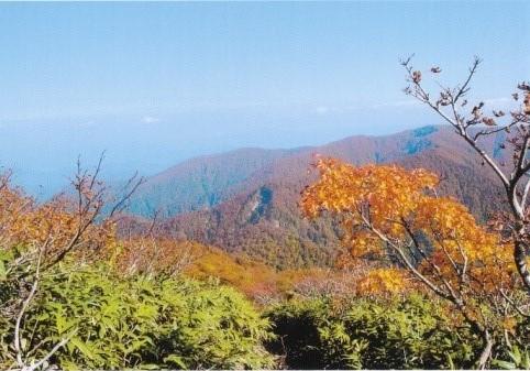 ブナの黄葉の先に白岩岳の稜線