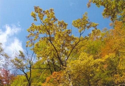 ツマールの森にて 天に向かうブナの木