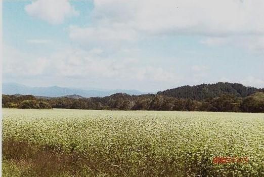 広大な蕎麦畑