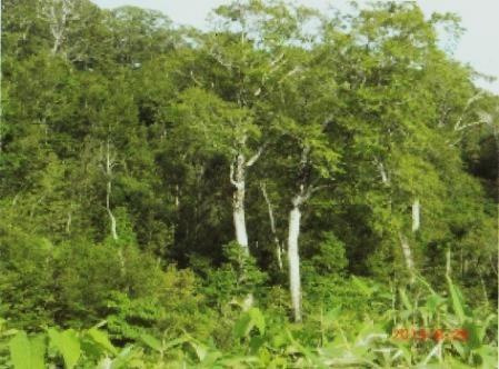 姥沢のブナの大木