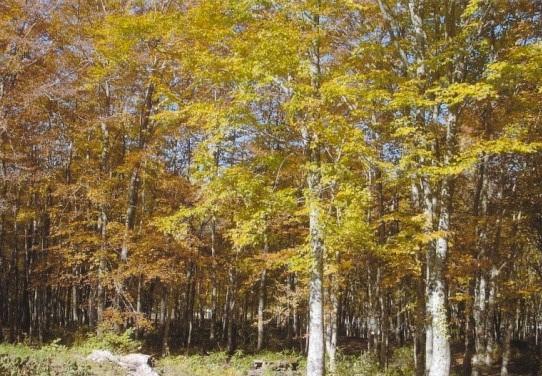 ツマールの森にて ブナ二次林
