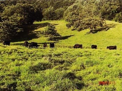 金山放牧場の黒毛和牛