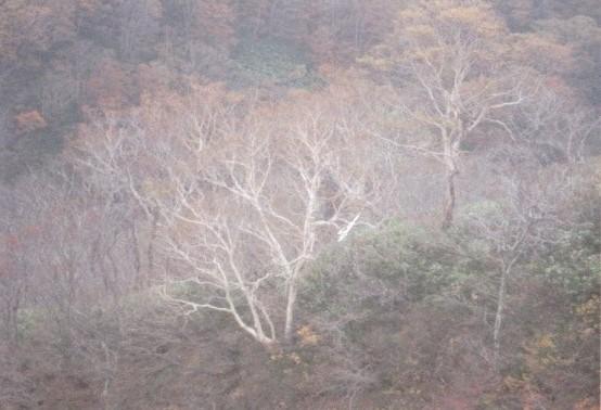 光輝くダケカンバの木肌(奈良・斉藤さんよりご提供いただきました)