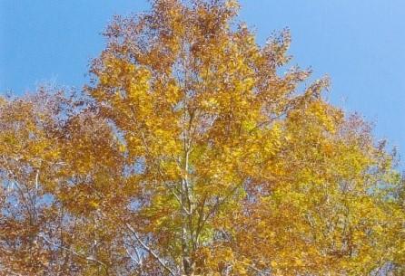 乳頭温泉郷 ツアールの森にてブナ黄葉