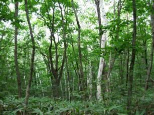 ブナ原生林②