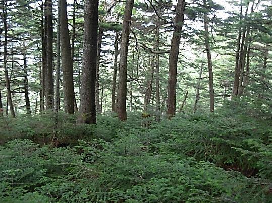 針葉樹林帯を行く