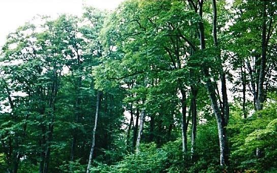 気持の良いブナの純林