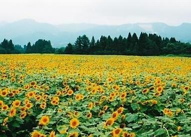 津南マンテンパーク ひまわり畑