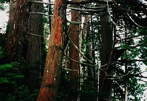 アスナロの純林