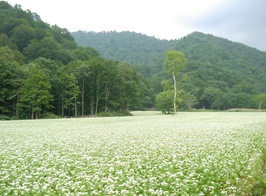 蕎麦畑 可憐なオニユリと白樺そして緑濃い杉が里の匂いを誘う②