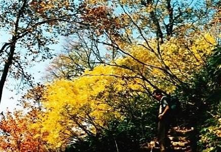 クロモジの黄葉