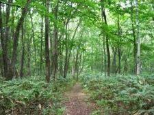 ブナ原生林①