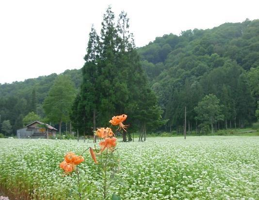蕎麦畑 可憐なオニユリと白樺そして緑濃い杉が里の匂いを誘う
