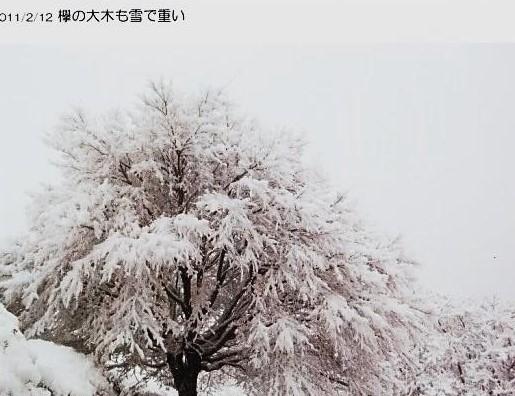 拳の大木も雪