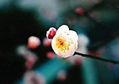 梅も咲きだしていた