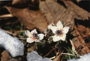 2月から3月に見ごろを迎える~節分草とアズマイチゲ~(埼玉)