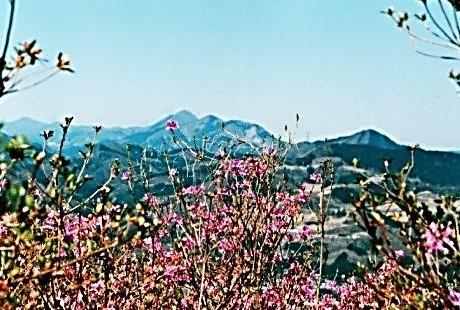 山頂からミツバツツジ