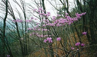 山頂ではトウゴクミツバツツジがお出迎え~斑山~(山梨)