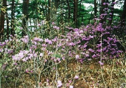 赤松の下映えにトウゴクミツバツツジ