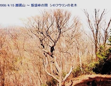 シロフウリン老木