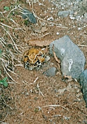 蛙の交尾中