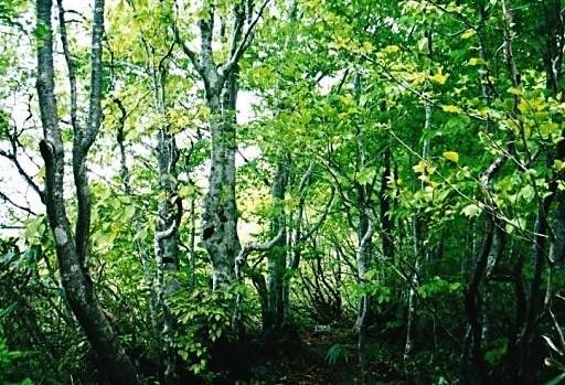 ブナ二次林