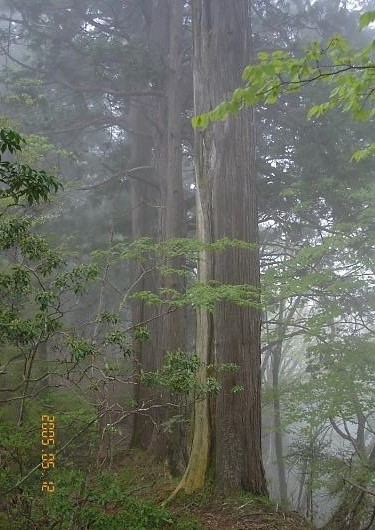 サワラの大木