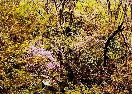 ヤシオツツジと山桜のコントラスト