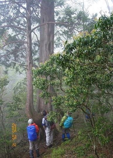 見上げるアスナロの大木