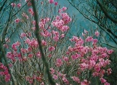 感動的なロウピンクのヤシオツツジが出迎えてくれた~石裂山~(栃木県)