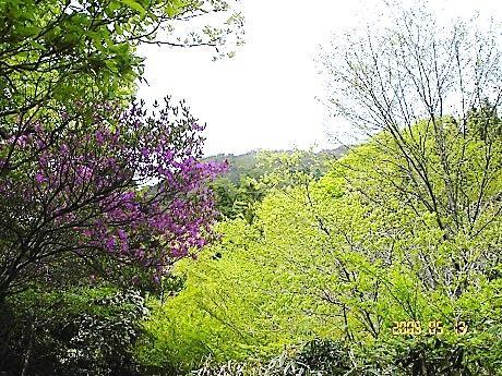 ヤシオツツジ咲く稜線