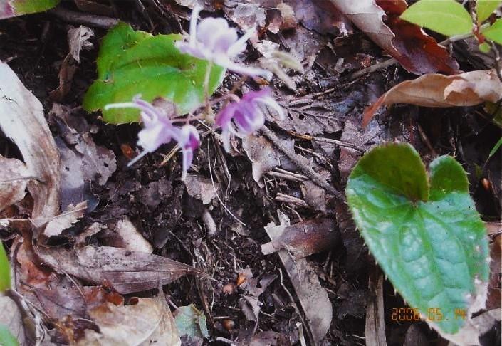 可憐な花 イカリソウ
