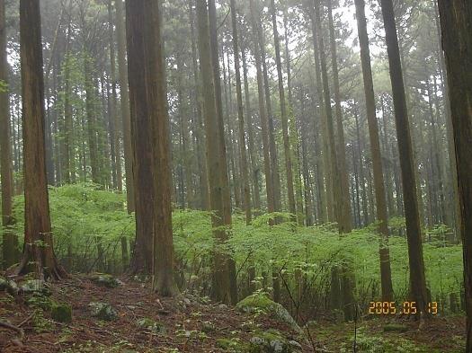 桧美林に若木の二次林