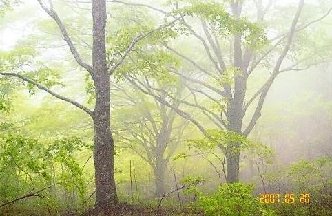 素晴らしいブナ林