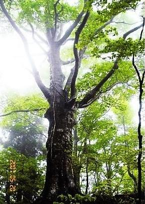 天然杉の大木