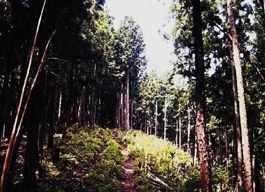 ヒノキ植林の切り開きを行く