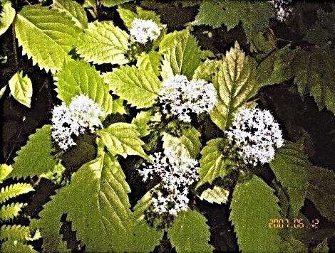 登山道に咲いていたコアジサイ