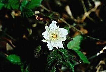 城山コース登山口に咲いていたクサイチゴの花