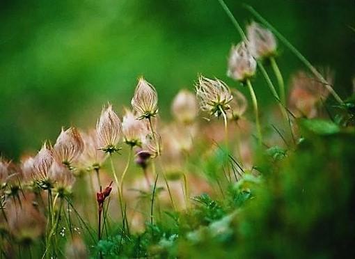 チングルマの花柄