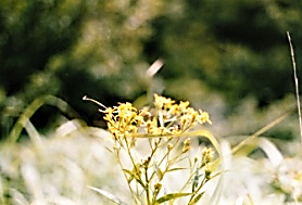コウゾリナ