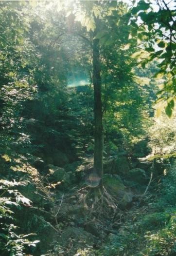 サワグルミの木